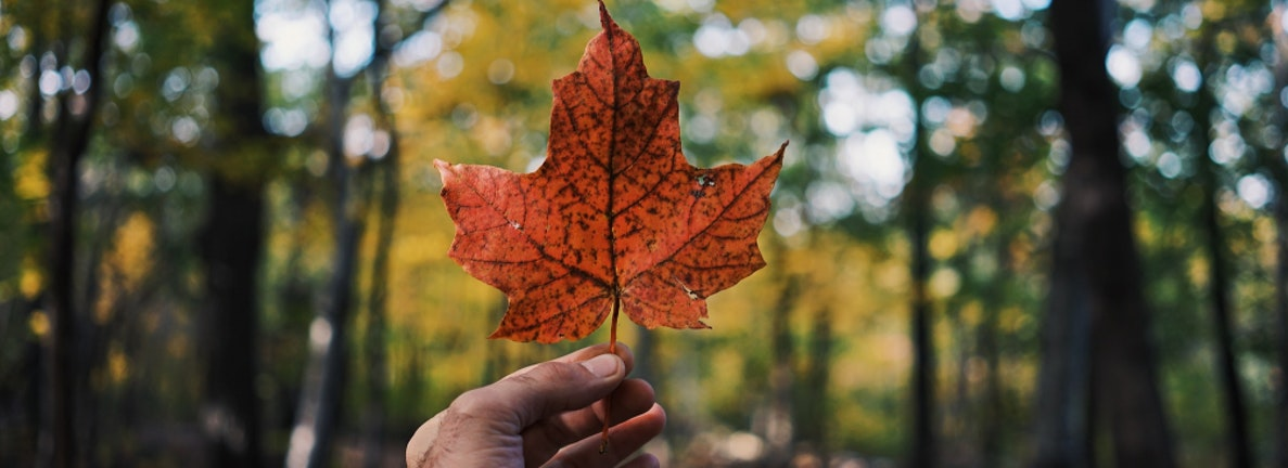 A maple leaf held by a hand in the middle of the woods.